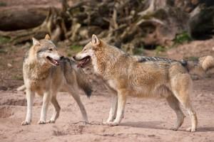 Europäische Wölfe in Tripsdrill bei Ludwigsburg